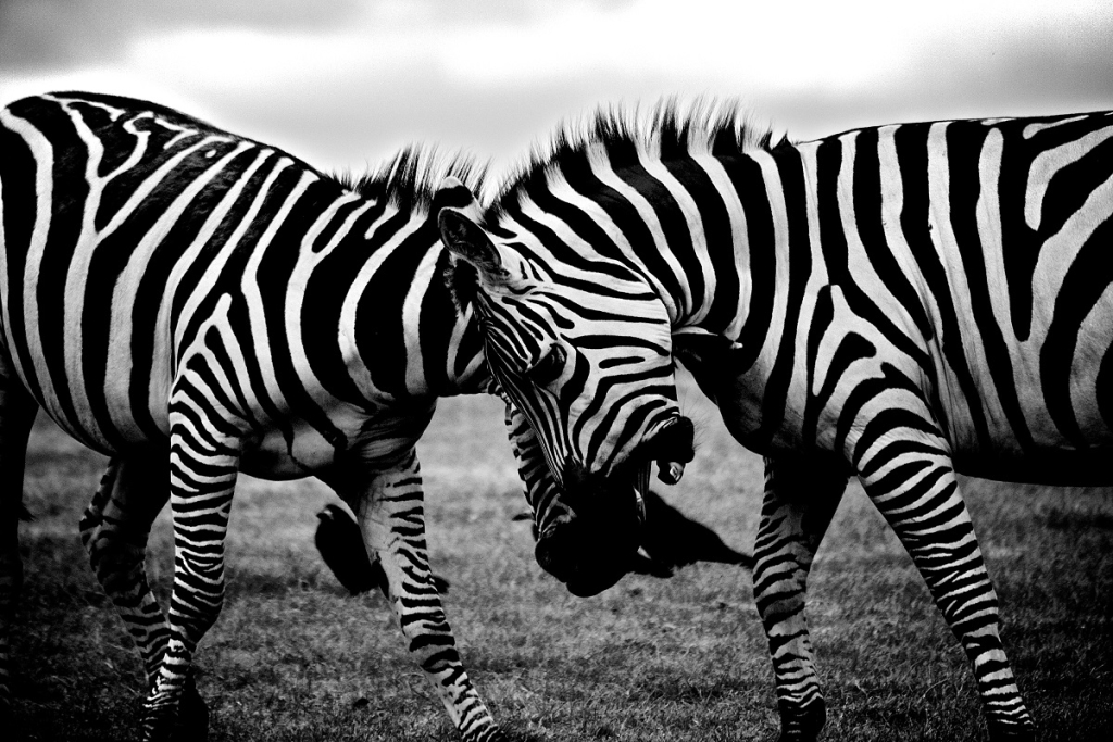 black-and-white-africa-animals