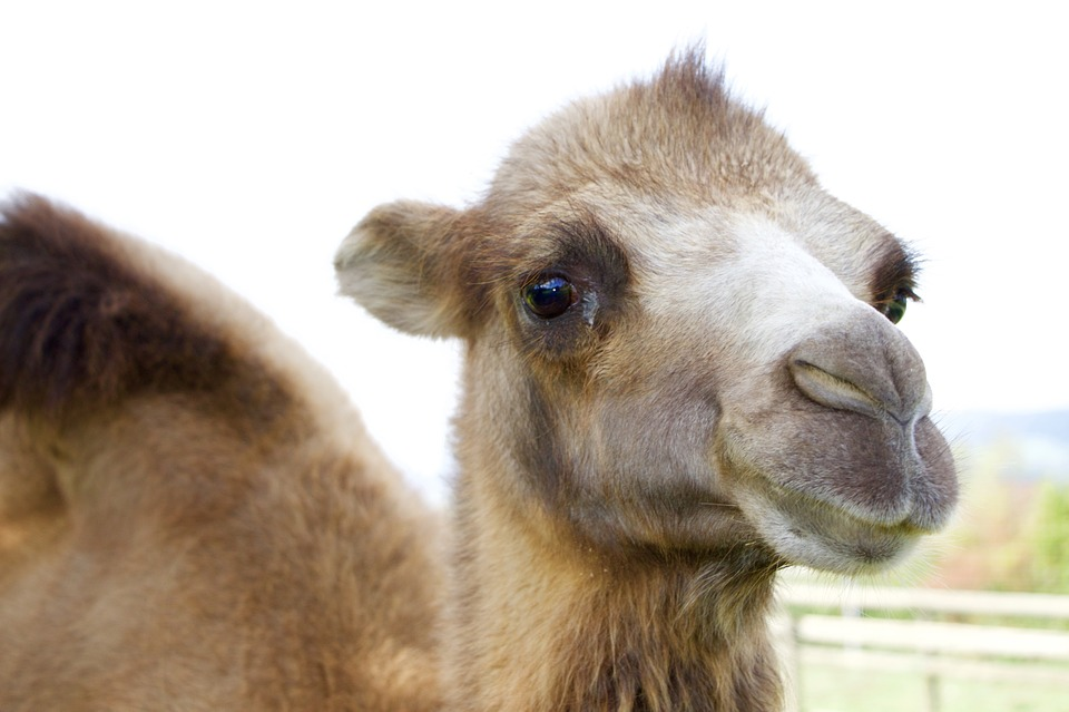 wielbłąd-kamelowy